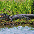 Louisiana Gator by Karry Degruise