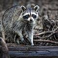 Louisiana Raccoon II by Diana Powell