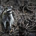 Louisiana Raccoon by Diana Powell