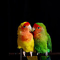 Love Birds At First Sight by Syed Aqueel