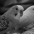 Love Birds by Kyra Chambers