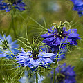 Love In A Mist by Anne Gilbert