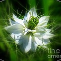 Love In A Mist by Patti Whitten