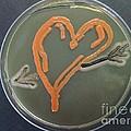 Love, Microbial Art by Niall Hamilton/Microbial Art
