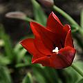 Love Tulip Time by LeeAnn McLaneGoetz McLaneGoetzStudioLLCcom