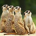 Lovely Group Of Meerkats by Jaroslav Frank