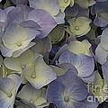 Lovely In Blue And White - Hydrangea by Dora Sofia Caputo Photographic Design and Fine Art