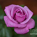 Lovely In Lavender by Michael Waters