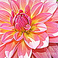 Lovely In Pink - Dahlia by Dora Sofia Caputo Photographic Design and Fine Art