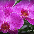 Lovely In Purple - Orchids by Dora Sofia Caputo Photographic Design and Fine Art