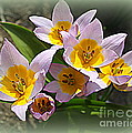Lovely In White And Yellow - Tulips by Dora Sofia Caputo Photographic Design and Fine Art