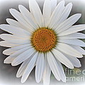 Lovely In White - Daisy by Dora Sofia Caputo Photographic Design and Fine Art