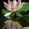 Lovely Lotus Reflection by Sabrina L Ryan