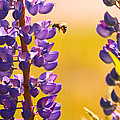 Lovely Lupins And Busy Bee by Peggy Collins