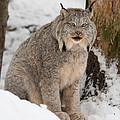 Lovely Lynx by David Barker