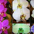 Lovely Orchids - A Collage by Dora Sofia Caputo Photographic Design and Fine Art