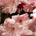 Lovely Pink Rhododendrons With Border by Carol Groenen