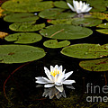 Lovely Pond Lily by Cheryl Baxter