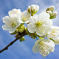 Lovely White Apple Blossoms On Branch by Matthias Hauser
