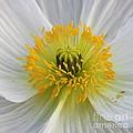 Lovely White Flower Square by Carol Groenen