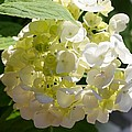 Lovely White Hydrangea by Cynthia Woods
