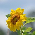 Lovely Yellow Sunflower by Maria Urso