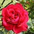 Lovely Red Rose by Christiane Schulze Art And Photography