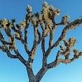 Low Angle View Of Joshua Tree, Joshua by Panoramic Images