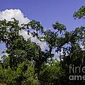 Lowcountry Life Oaks by Dale Powell