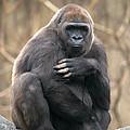 Lowland Gorilla by David Davis