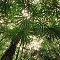 Lowland Tropical Rainforest Fan Palms by Gerry Ellis
