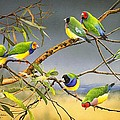 Lucky Seven - Gouldian Finches by Frances McMahon