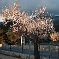 Luminous Almond Tree by Ingela Christina Rahm