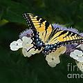 Luminous Butterfly On Lacecap Hydrangea by Byron Varvarigos