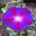 Luminous Morning Glory In Purple Shines On You by Rosita Larsson