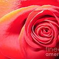 Luminous Red Rose 1 by Tara  Shalton