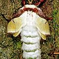 Luna Moth Actias Luna by Millard H. Sharp