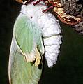 Luna Moth Actias Luna Newly Hatched by Millard H. Sharp