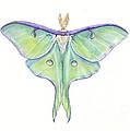 Luna Moth Actias Luna by Shirley Greenville