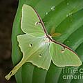 Luna Moth by Alana Ranney