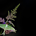 Luna Moth Astilby Black Background by Randall Branham