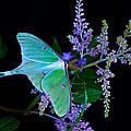 Luna Moth Astilby Flower Black by Randall Branham