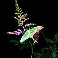 Luna Moth Astilby Flower  by Randall Branham