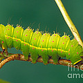 Luna Moth Caterpillar by David N. Davis