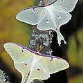 Luna Moth by Millard H. Sharp