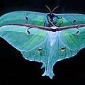 Luna Moth Mirrored by Randall Branham