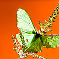 Luna Moth On Astilby Orange Back Ground by Randall Branham