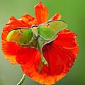 Luna Moth On Poppy Square Format by Randall Branham