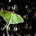 Luna Moth On Tree by Randall Branham