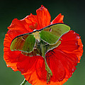 Luna Moth Orange Poppy Green Bg by Randall Branham